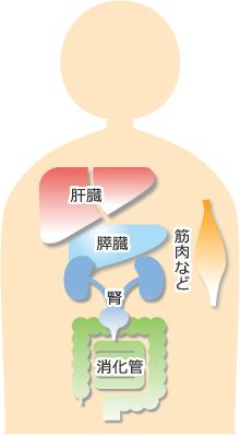 薬品と作用する臓器